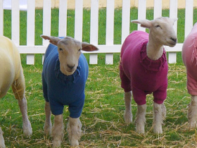 Sheep in jumpers - free Flickr